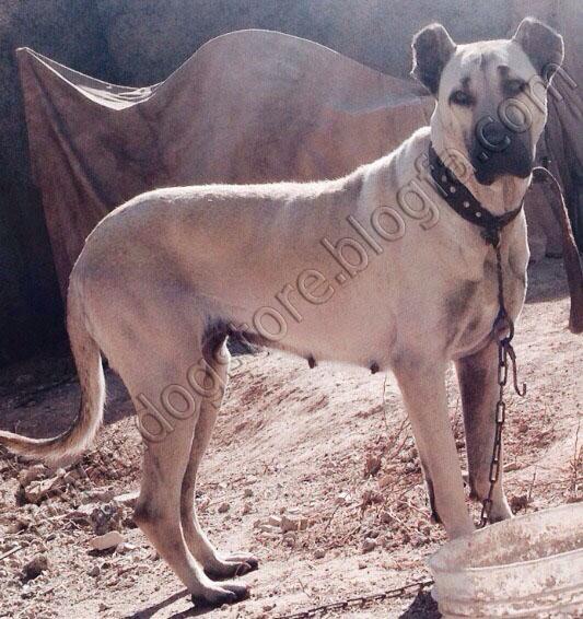 سگ سرابی ماده اصیل