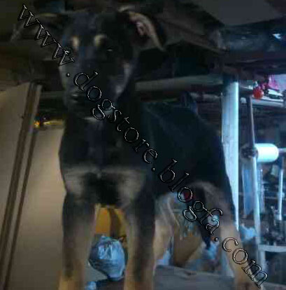 فروش توله سگ نگهبان